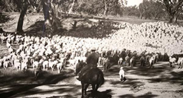 photo of man sitting on a horse herding sheep